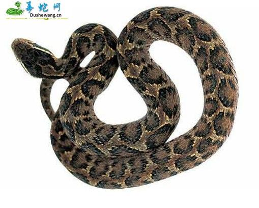 白眉蝮蛇图片6