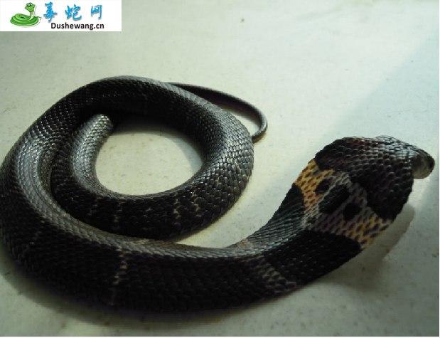 舟山眼镜蛇(有毒蛇)详细资料、图片