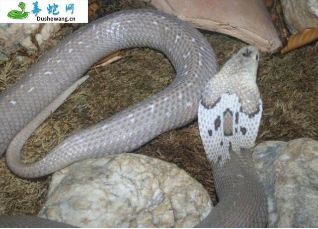 舟山眼镜蛇图片4