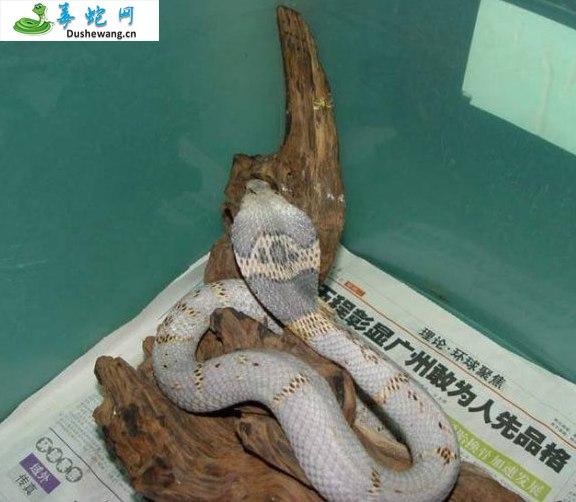 舟山眼镜蛇图片6