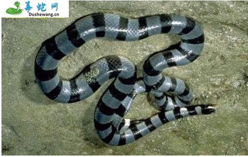灰蓝扁尾海蛇(有毒蛇)详细资料、图