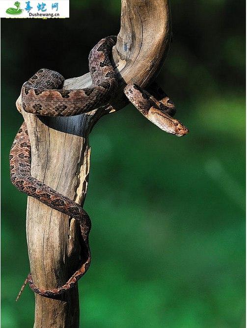 原矛头蝮蛇图片5