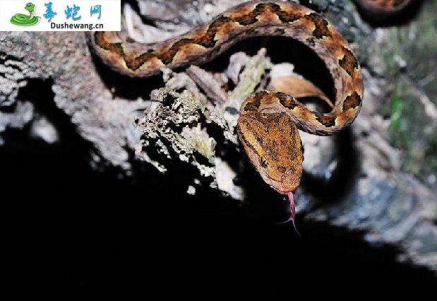 原矛头蝮蛇(有毒蛇)详细资料、图片及品种介绍
