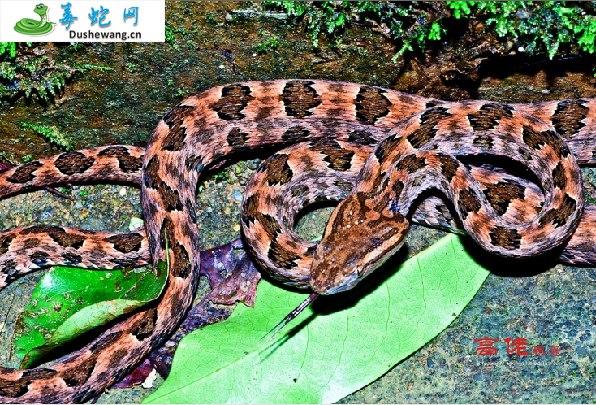 原矛头蝮蛇图片2