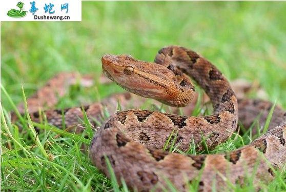 原矛头蝮蛇图片3