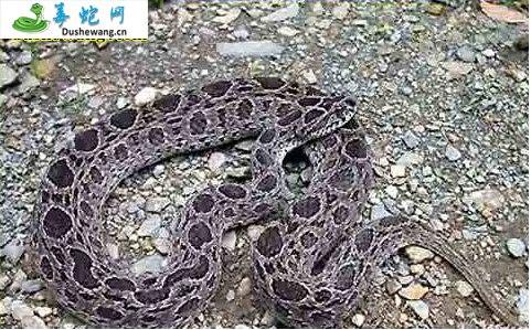 圆斑蝰蛇(有毒蛇)详细资料、图片及品种介绍