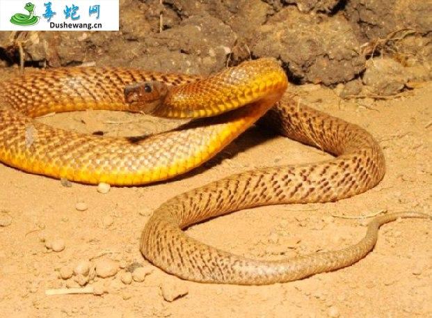 太攀蛇(有毒蛇)详细资料、图片及品种介绍