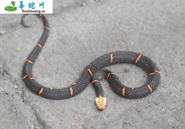 喜玛拉雅白头蛇(有毒蛇)详细资料、图片及品种介绍