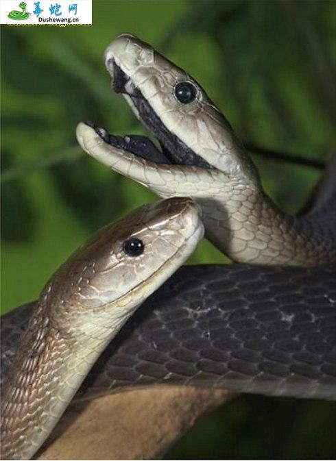 黑曼巴蛇/黑树眼镜蛇(黑曼巴蛇)详细资料、图片及品种介绍