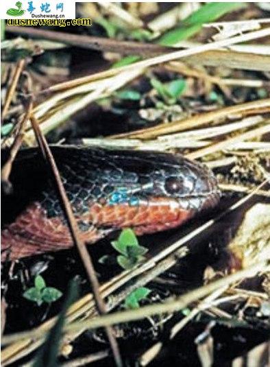 变色蛇(有毒蛇)详细资料、图片及品种介绍