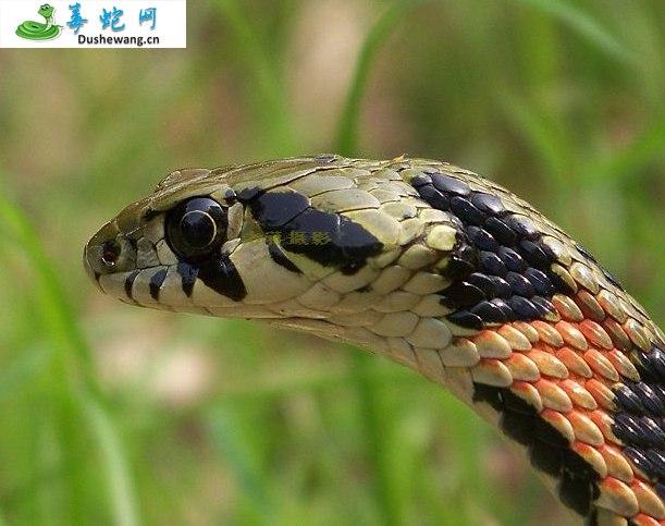 虎斑颈槽蛇(微毒蛇)详细资料、图片及品种介绍