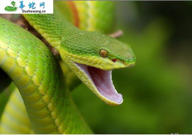 白唇竹叶青(有毒蛇)详细资料、图片及品种介绍