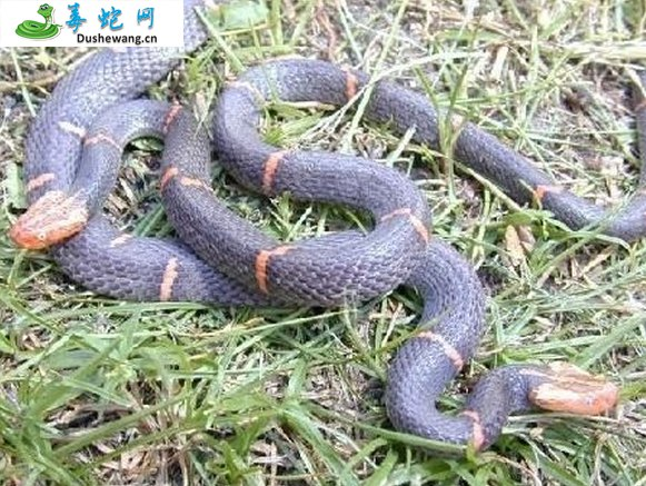 白头蝰(有毒蛇)详细资料、图片及品种介绍
