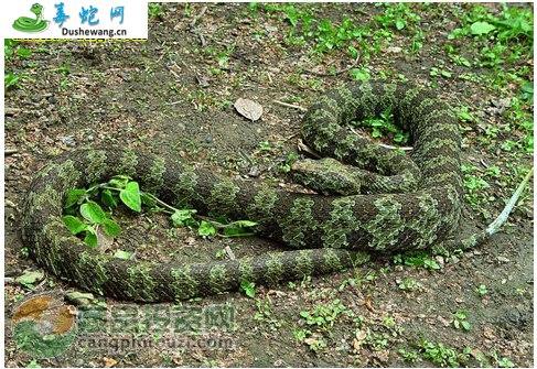 莽山烙铁头蛇(有毒蛇)详细资料、图片及品种介绍