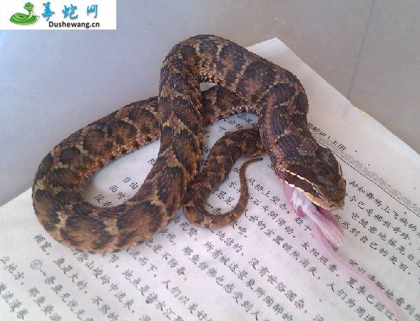 短尾蝮蛇(有毒蛇)详细资料、图片及品种介绍