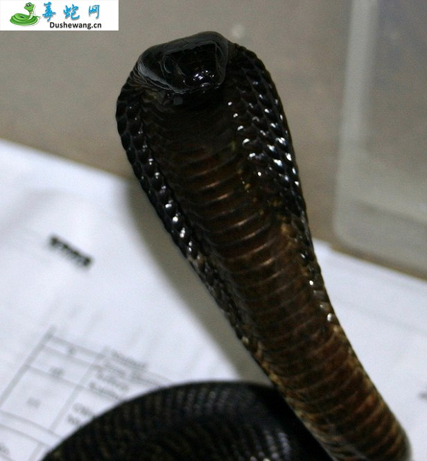 埃及眼镜蛇(有毒蛇)详细资料、图片及品种介绍