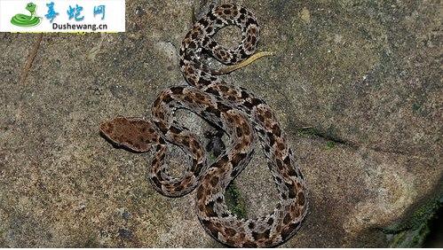 矛头蝮蛇(有毒蛇)详细资料、图片及品种介绍
