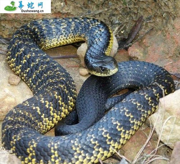 东方虎蛇(有毒蛇)详细资料、图片及品种介绍