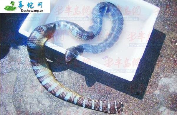 青环海蛇(有毒蛇)详细资料、图片及品种介绍