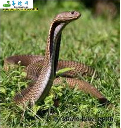 菲律宾眼镜蛇(有毒蛇)详细资料、图片及品种介绍