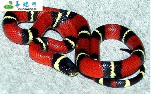 纳尔逊奶蛇(无毒蛇)详细资料、图片