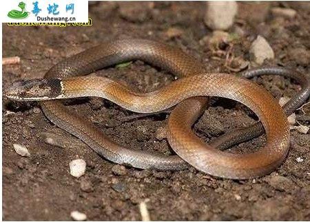 黑头剑蛇(无毒蛇)详细资料、图片及