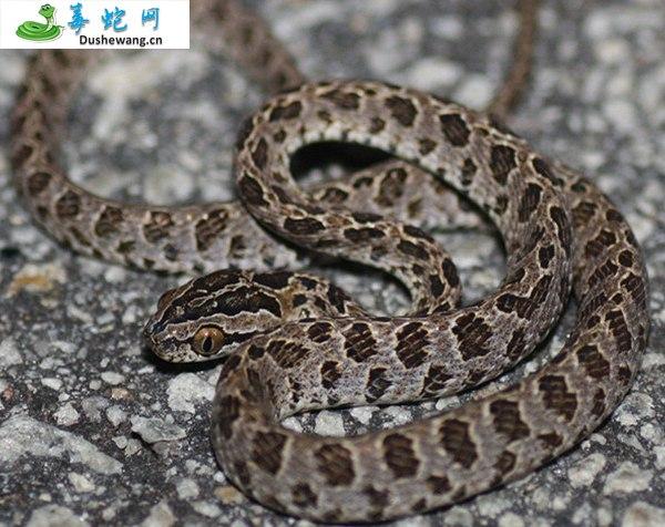 繁花林蛇(微毒蛇)详细资料、图片及品种介绍