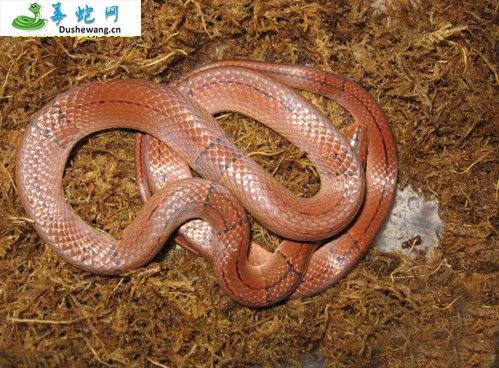 红竹蛇/紫灰锦蛇(无毒蛇)详细资料、图片及品种介绍