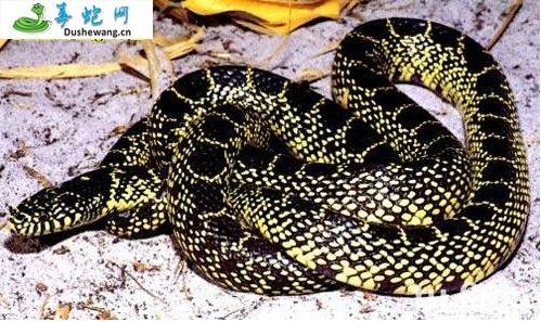 沙漠王蛇(无毒蛇)详细资料、图片及品种介绍