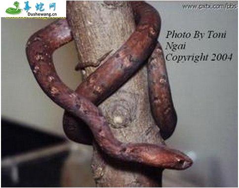 紫砂蛇(无毒蛇)详细资料、图片及品种介绍