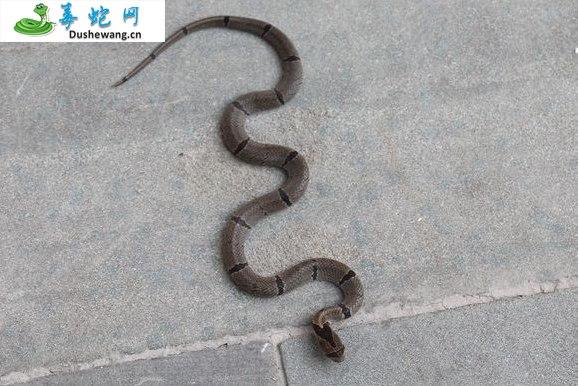 中国小头蛇(无毒蛇)详细资料、图片及品种介绍