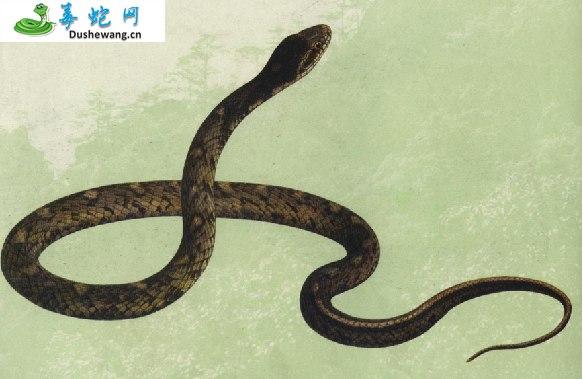 花尾斜鳞蛇(无毒蛇)详细资料、图片及品种介绍