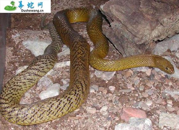 大班蛇/太班蛇(无毒蛇)详细资料、图片及品种介绍