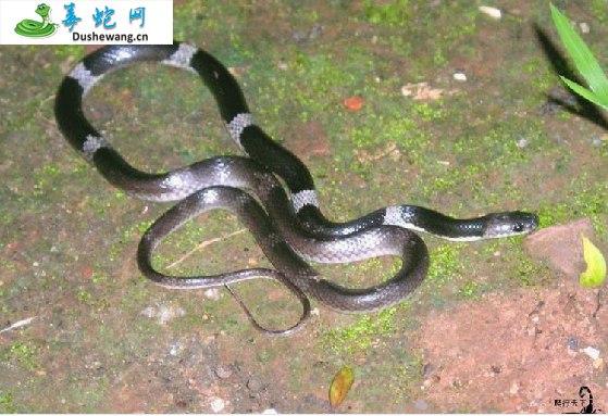 细白环蛇(无毒蛇)详细资料、图片及品种介绍