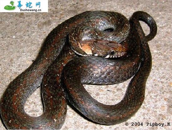 坡普腹链蛇(无毒蛇)详细资料、图片及品种介绍
