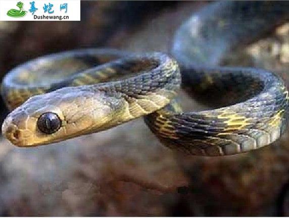 广西林蛇(无毒蛇)详细资料、图片及品种介绍