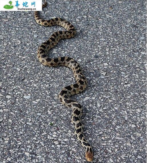 狐狸蛇(无毒蛇)详细资料、图片及品种介绍