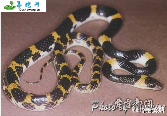 老挝白环蛇(无毒蛇)详细资料、图片及品种介绍