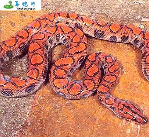 墨西哥玫瑰红蟒(无毒蛇)详细资料、图片及品种介绍
