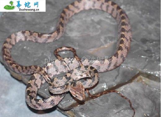 绞花林蛇(微毒蛇)详细资料、图片及品种介绍