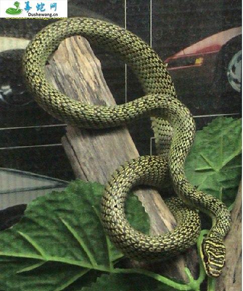 金花蛇(微毒蛇)详细资料、图片及品种介绍