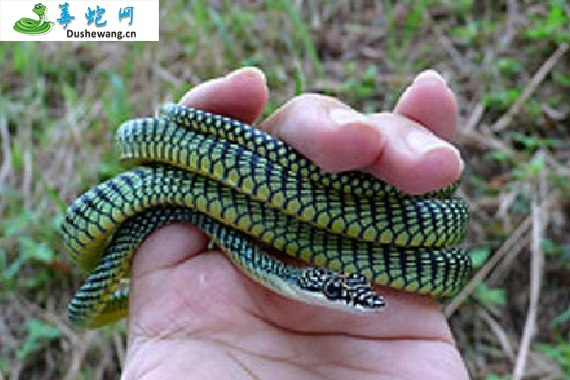天堂金花蛇(微毒蛇)详细资料、图片及品种介绍