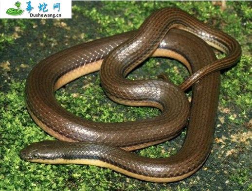 侧条后棱蛇(微毒蛇)详细资料、图片及品种介绍