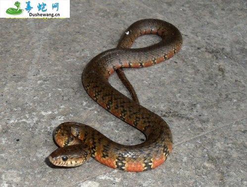 赤链华游蛇(微毒蛇)详细资料、图片及品种介绍
