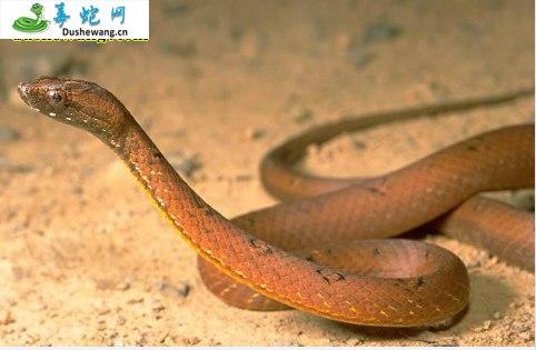 紫沙蛇(微毒蛇)详细资料、图片及品种介绍