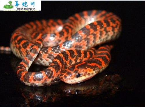 三更蛇(微毒蛇)详细资料、图片及品种介绍