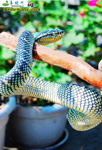 铠甲蝮蛇(铠甲蝮蛇)详细资料、图片及品种介绍