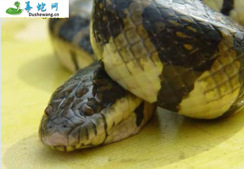 海豹蛇(微毒蛇)详细资料、图片及品种介绍