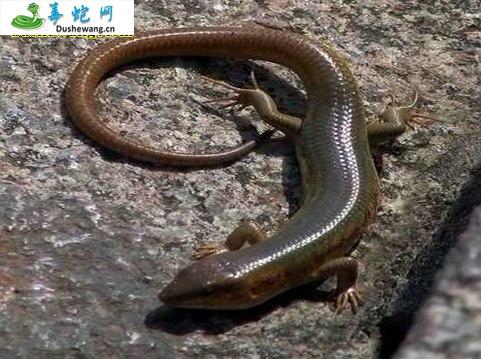 猪婆蛇(微毒蛇)详细资料、图片及品种介绍