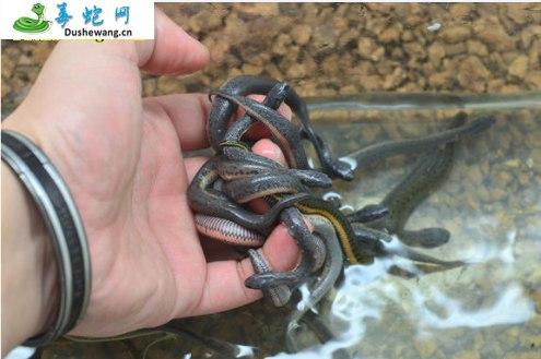 中华水蛇(微毒蛇)详细资料、图片及品种介绍